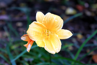 Stella d'Oro Daylily in Fall